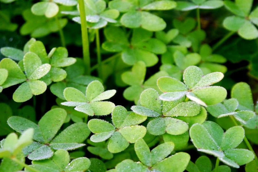 Clovers+are+one+of+the+symbols+for+St.+Patricks+Day.