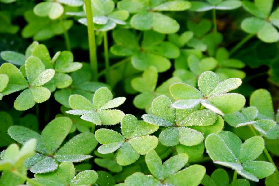 Clovers are one of the symbols for St. Patricks Day.