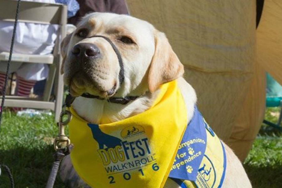 A puppy in training shows off his DogFest bandana.