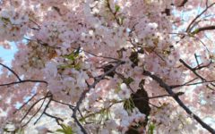 Excitement Blooms at the Annual Cherry Blossom Festival