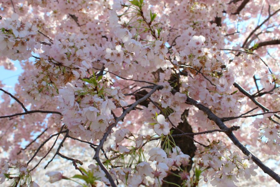 The cherry blossoms bloom in the Spring of the Cherry Blossom Festival in Washington, D.C.