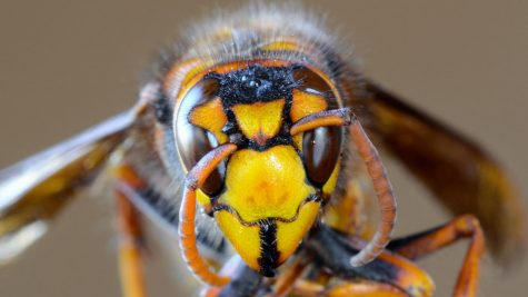 The Giant Asian Hornet, also known as the murder hornet, was discovered in Washington DC in October 2020.