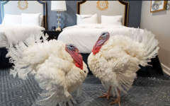 Corn and Cob celebrate their pardoning by relaxing in a luxurious hotel suite.