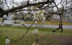 Virginia cherry blossoms bloom as spring break approaches.